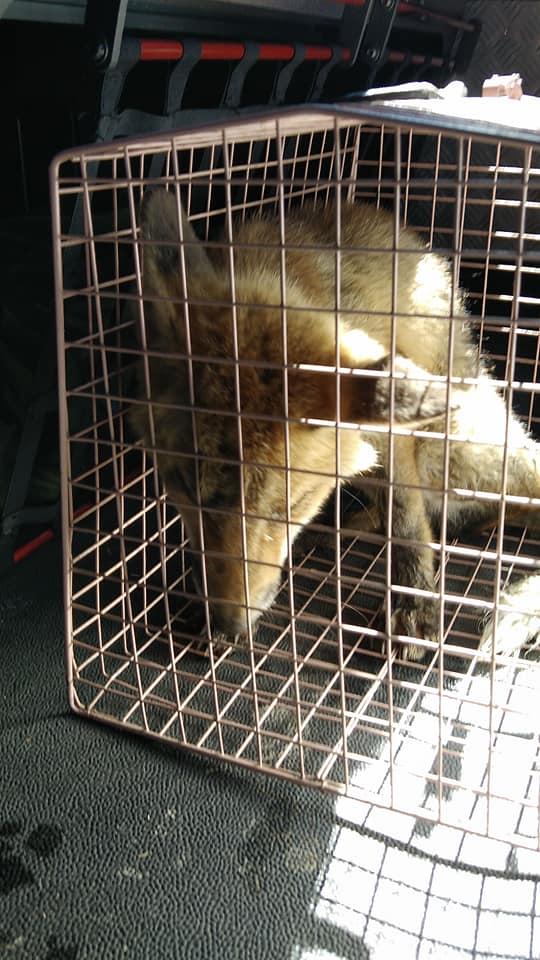 TROFARELLO – I vigili del fuoco salvano la volpe ferita