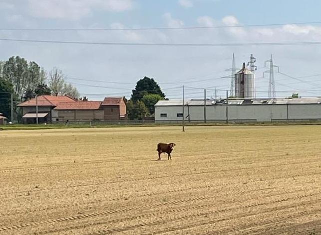 CARMAGNOLA – Toro scappa dall'allevamento: sedato a pochi metri dalla ferrovia