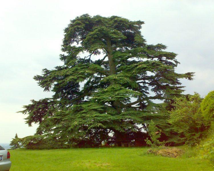 Pecetto: visita all'antico cedro del Libano che svetta sul parco di villa Talucchi Pallavicini