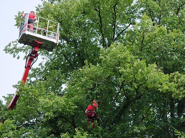 CARMAGNOLA – Il 2019 sarà un anno di tagli e potature alberi