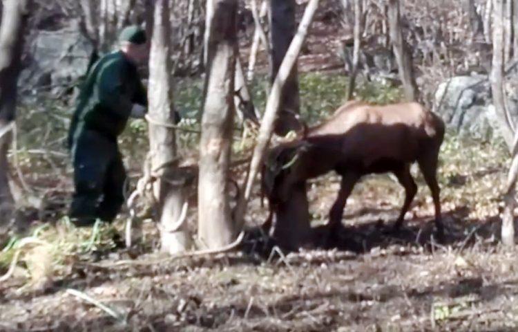 Liberato nel bosco di Novalesa il cervo rimasto impigliato nella rete di plastica