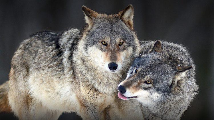 La presenza del lupo in Piemonte è a rischio
