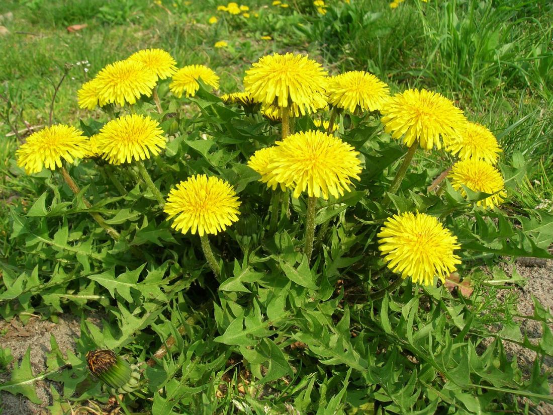 CARMAGNOLA – Erbe selvatiche e fiori eduli: il corso di Legambiente Il Platano insegna come riconoscerli