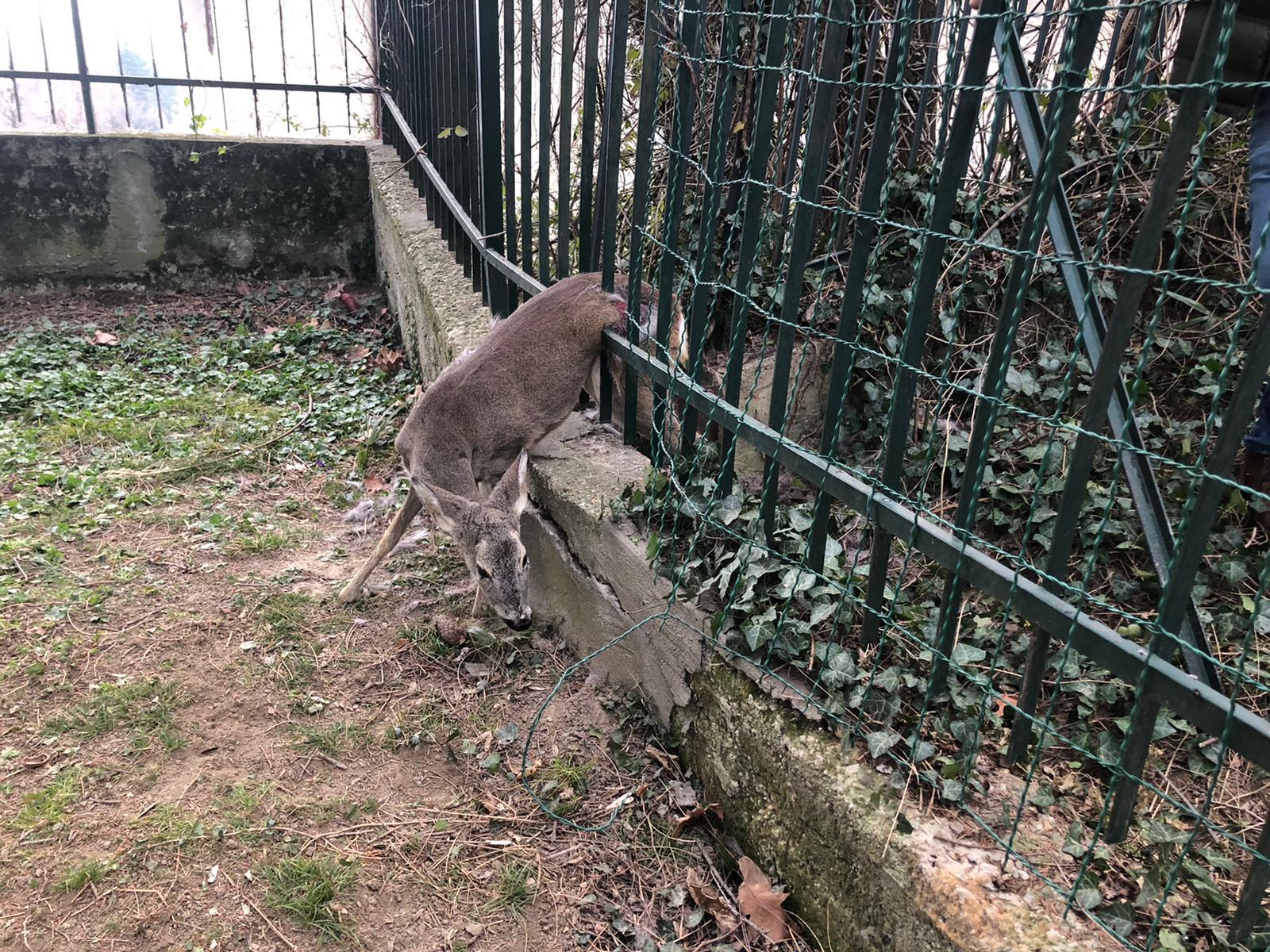 Capriola imprigionata tra le sbarre di un cancello a Rivoli. Ora è in cura al CANC di Grugliasco