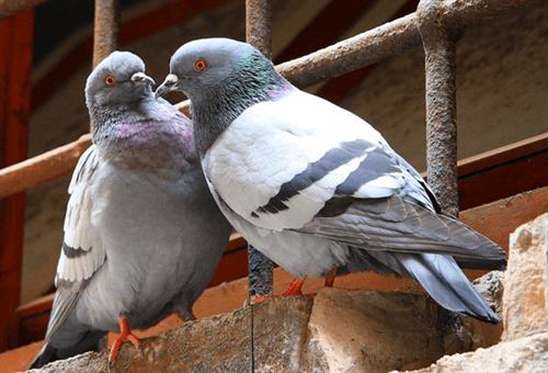 VILLASTELLONE – Divieto di nutrire i piccioni per il rischio di problemi sanitari